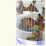 Butterfly Release Cage.  Display of Live Monarch Butterflies in Texas