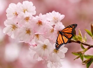 A beautiful Monarch butterfly nectars on a Cherry Blossom in St. Paul, Minnesota