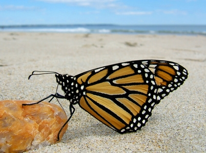 Monarch butterflies often linger after a butterfly release.