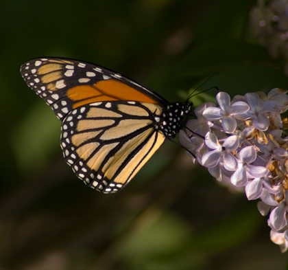 Monarch butterfly nectaring from a purple lilac in Manchester, new hampshire.